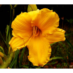 Hemerocallis Bodacious Returns - Reblooming