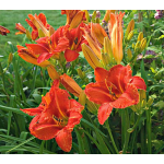 Hemerocallis Alabama Jubilee