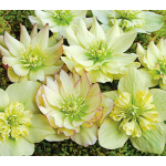 Helleborus x hybridus Winter Jewels® Golden Lotus