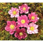 Helleborus x hybridus Winter Jewels® Berry Swirl