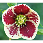 Helleborus Winter Thriller™ Ice Follies