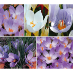 Fall-Blooming Crocus Mixture