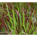 Ornamental Grass: Panicum virgatum Ruby Ribbons®