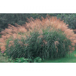 Ornamental Grass: Miscanthus sinensis Silver Feather