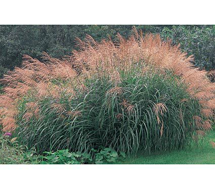Miscanthus sinensis silver feather white flower farm for Ornamental feather grass