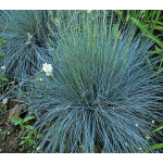 Ornamental Grass: Festuca glauca 'Elijah Blue'