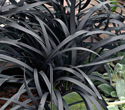 ophiopogon planiscapus nigrescens white flower farm. Black Bedroom Furniture Sets. Home Design Ideas