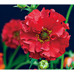 Geum chiloense Red Dragon