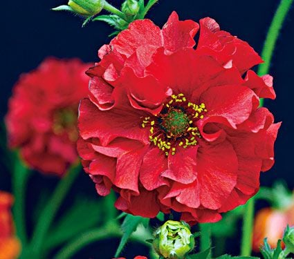 Geum chiloense 'Red Dragon'