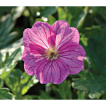 Geranium Blushing Turtle