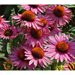 Echinacea purpurea Prairie Pillars™ Ruby Giant