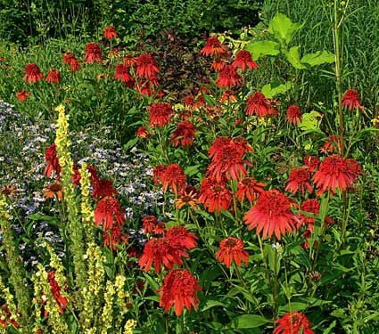 echinacea cone fections hot papaya white flower farm. Black Bedroom Furniture Sets. Home Design Ideas