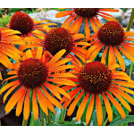 Echinacea Prairie Pillars™ 'Flame Thrower'