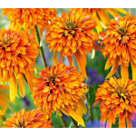 Echinacea Cone-fections™ Marmalade