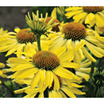 Echinacea Butterfly™ Cleopatra