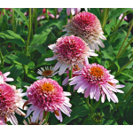 Echinacea purpurea Cone-fections™ 'Butterfly Kisses'
