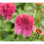 Echinacea Secret™ Secret Affair