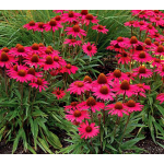 Echinacea Dream™ 'Glowing Dream'