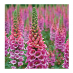 Digitalis purpurea 'Candy Mountain'