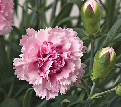 Dianthus candy floss white flower farm dianthus candy floss mightylinksfo