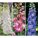 Centurion Delphinium Collection 3 plants