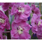 Delphinium elatum 'Strawberry Fair' Blackmore & Langdon