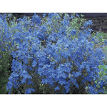 Delphinium grandiflorum Blue Mirror