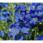 Delphinium chinensis Diamonds Blue