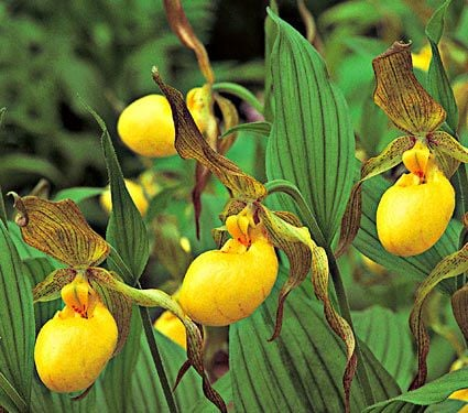 Cypripedium parviflorum pubescens
