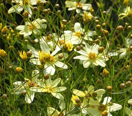 Coreopsis verticillata moonbeam white flower farm mightylinksfo Choice Image