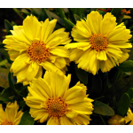 Coreopsis Big Bang™ 'Galaxy'