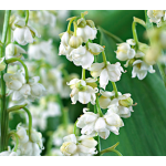 Convallaria majalis 'Prolificans' Lily-of-the-Valley
