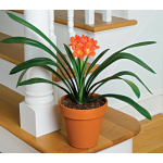 Clivia miniata - The Perfect Houseplant