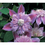 Clematis Josephine™ Regal®