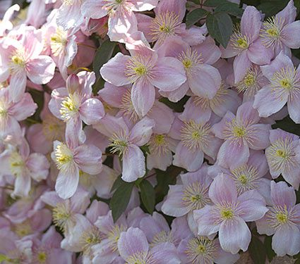 Clematis montana mayleen white flower farm clematis montana mayleen mightylinksfo