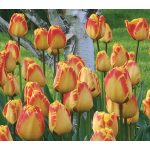 White Flower Farm Red and Yellow Perennial Tulip