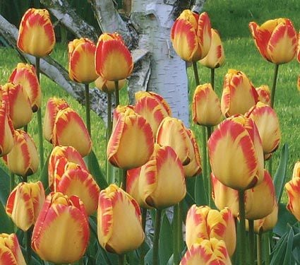 White flower farm red and yellow perennial tulip white flower farm white flower farm red and yellow perennial tulip mightylinksfo