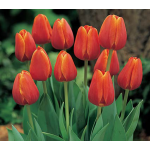 White Flower Farm Orange Perennial Tulip