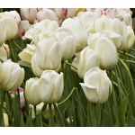 White Flower Farm Ivory Perennial Tulips