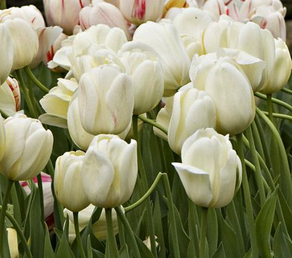 White flower farm ivory perennial tulip white flower farm white flower farm ivory perennial tulip mightylinksfo Choice Image