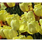 White Flower Farm Yellow Perennial Tulip