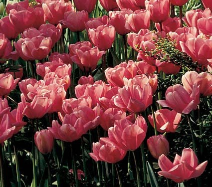 White flower farm pink perennial tulip white flower farm white flower farm pink perennial tulip mightylinksfo