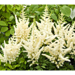 Astilbe chinensis Diamonds and Pearls