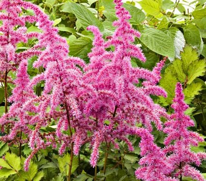 Astilbe chinensis Love and Pride