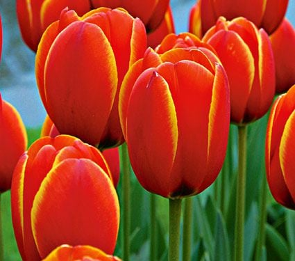 Tulip 'World's Favourite'