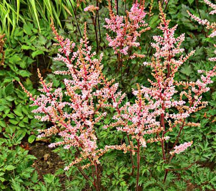 Astilbe delft lace white flower farm mightylinksfo Images