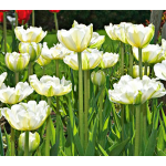 Tulip White Touch
