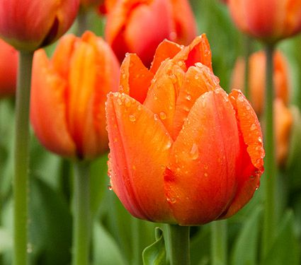 Tulip 'Orange Balloon'