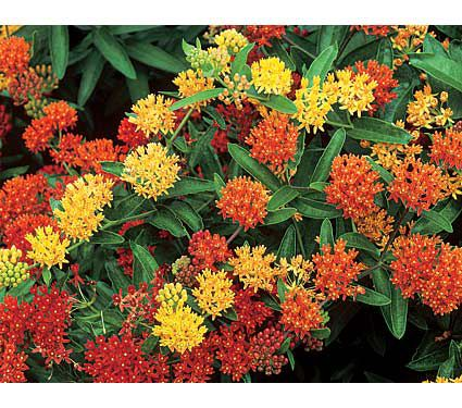 from Randy asclepias tub gay butterflies