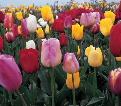 Growers Choice Tulip Mixture